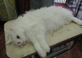 トリミングで猫のレオ様が初ご来店です♡_f0238260_11421276.jpg