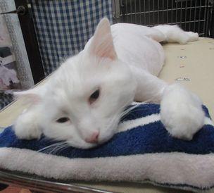 トリミングで猫のレオ様が初ご来店です♡_f0238260_11423154.jpg