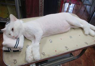 トリミングで猫のレオ様が初ご来店です♡_f0238260_11424691.jpg