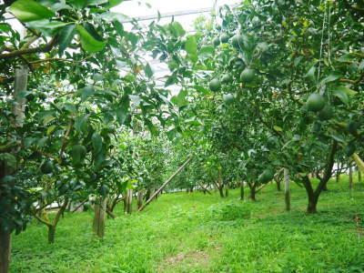デコポン(肥後ポン) 果実を大きく成長させる匠の水管理と来年のための夏芽の話!前編_a0254656_18172218.jpg
