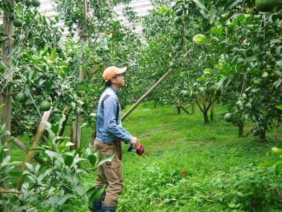 デコポン(肥後ポン) 果実を大きく成長させる匠の水管理と来年のための夏芽の話!前編_a0254656_18203412.jpg
