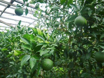 デコポン(肥後ポン) 果実を大きく成長させる匠の水管理と来年のための夏芽の話!前編_a0254656_18221986.jpg
