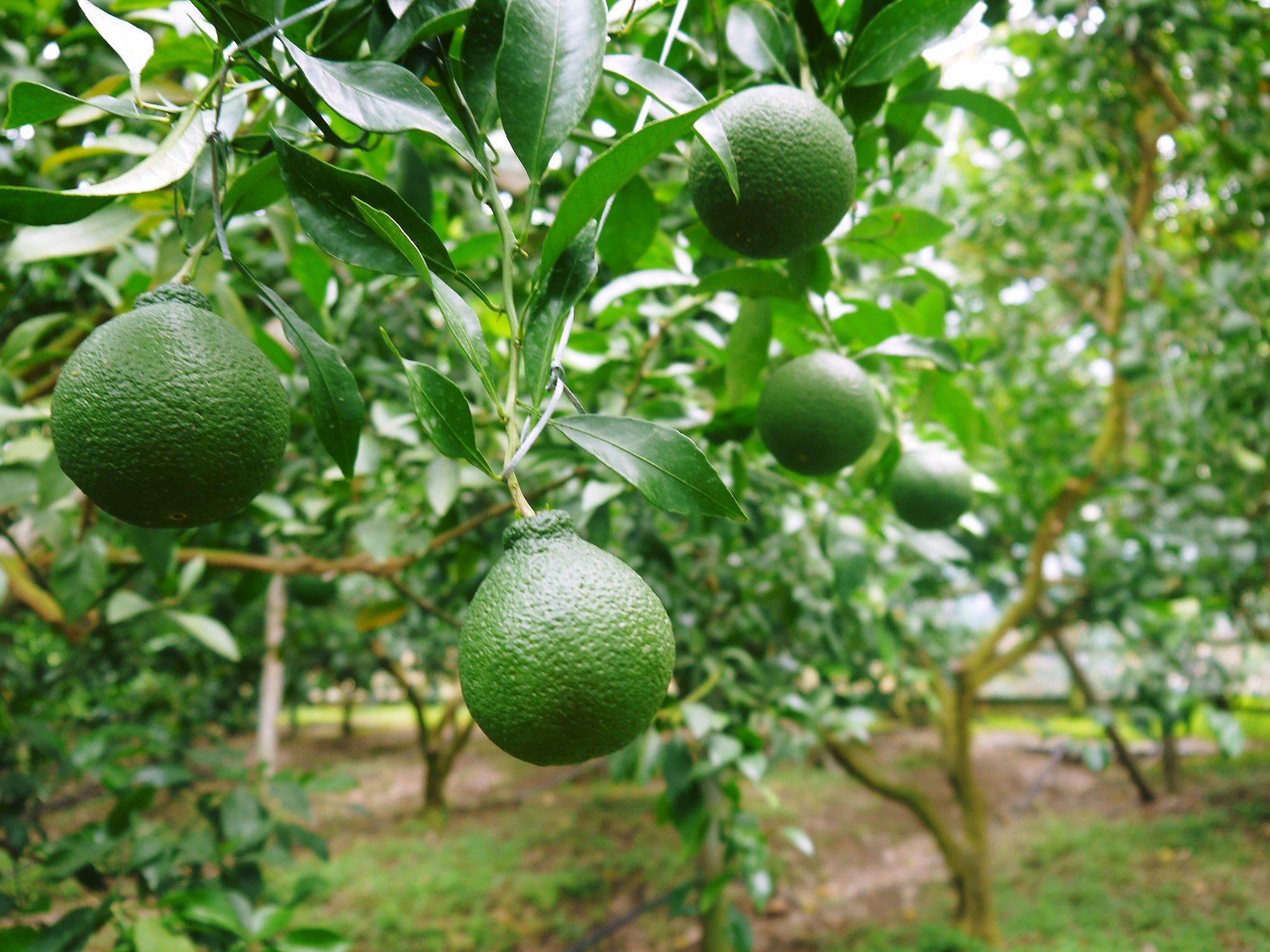 デコポン(肥後ポン) 果実を大きく成長させる匠の水管理と来年のための夏芽の話!前編_a0254656_18242119.jpg
