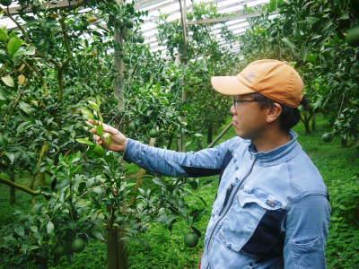 デコポン(肥後ポン) 果実を大きく成長させる匠の水管理と来年のための夏芽の話!前編_a0254656_18385906.jpg