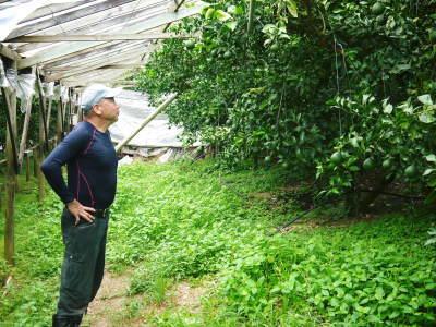 デコポン(肥後ポン) 果実を大きく成長させる匠の水管理と来年のための夏芽の話!前編_a0254656_18414853.jpg