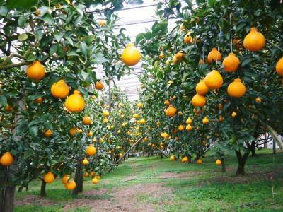 デコポン(肥後ポン) 果実を大きく成長させる匠の水管理と来年のための夏芽の話!前編_a0254656_18435442.jpg