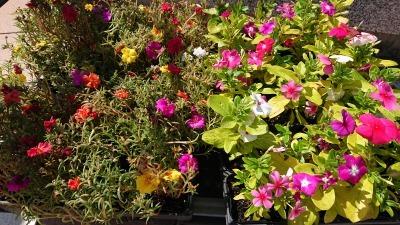 名古屋港水族館前花壇の植栽R2.9.2_d0338682_16482457.jpg