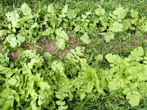 自然農の畑 8月下旬~9月上旬_d0366590_10395711.jpg