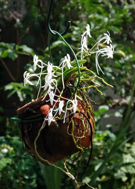 素焼きポットのフウランに沢山の花が~~♪_a0136293_15554673.jpg