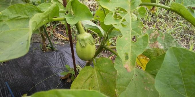 無肥料栽培  成功?!_a0279022_08230273.jpg