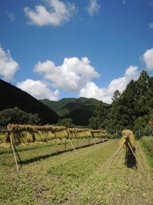 稲刈り2020_a0054948_16102704.jpg