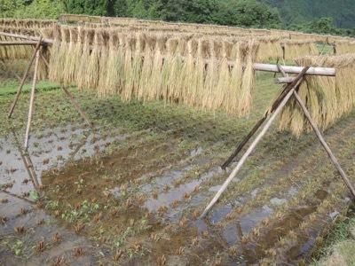 稲刈り2020_a0054948_16110213.jpg