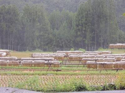 稲刈り2020_a0054948_16110523.jpg