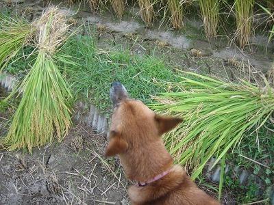 稲刈り2020_a0054948_16113778.jpg