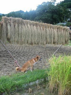 稲刈り2020_a0054948_16115231.jpg