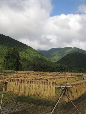 稲刈り2020_a0054948_16591896.jpg
