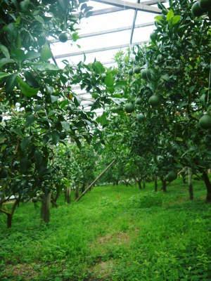 デコポン(肥後ポン) 果実を大きく成長させる匠の水管理と来年のための夏芽の話!後編_a0254656_16354780.jpg