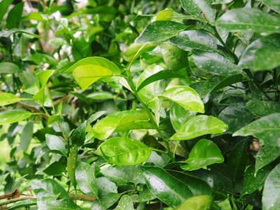 デコポン(肥後ポン) 果実を大きく成長させる匠の水管理と来年のための夏芽の話!後編_a0254656_16435754.jpg