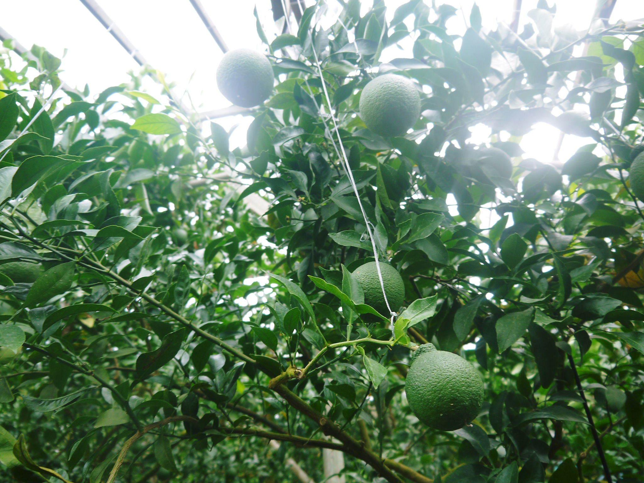 デコポン(肥後ポン) 果実を大きく成長させる匠の水管理と来年のための夏芽の話!後編_a0254656_16590754.jpg