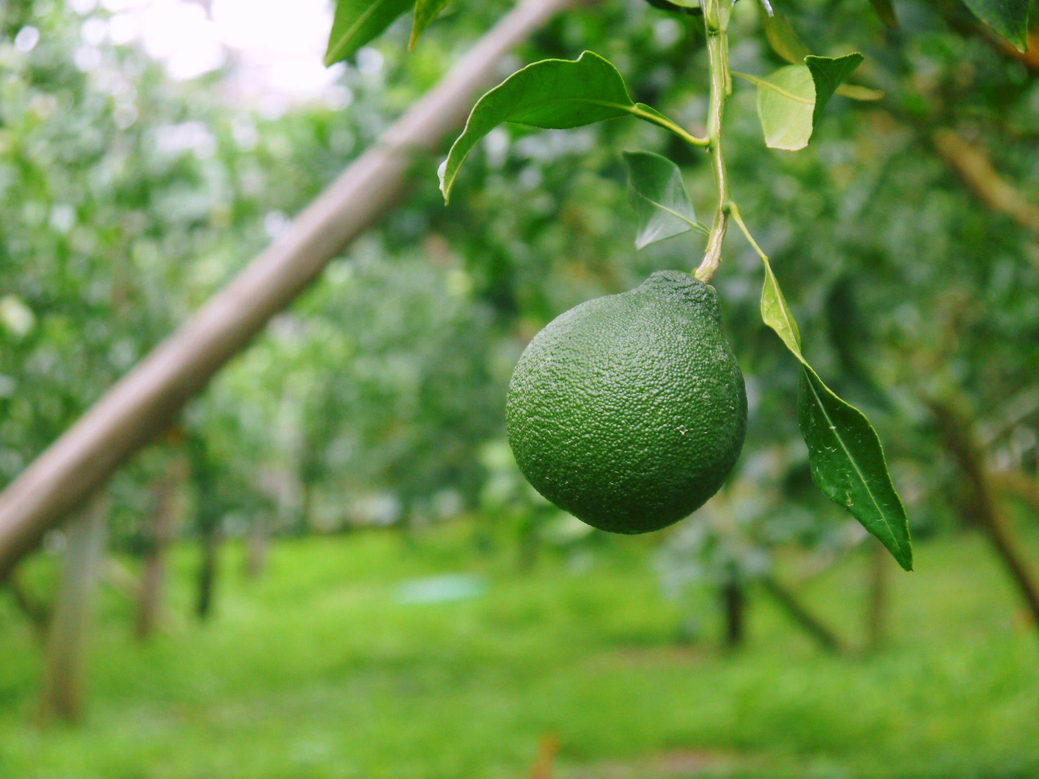 デコポン(肥後ポン) 果実を大きく成長させる匠の水管理と来年のための夏芽の話!後編_a0254656_17034905.jpg