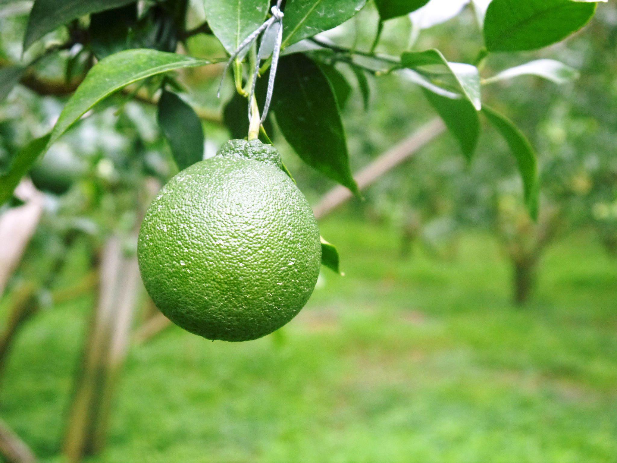 デコポン(肥後ポン) 果実を大きく成長させる匠の水管理と来年のための夏芽の話!後編_a0254656_17121165.jpg