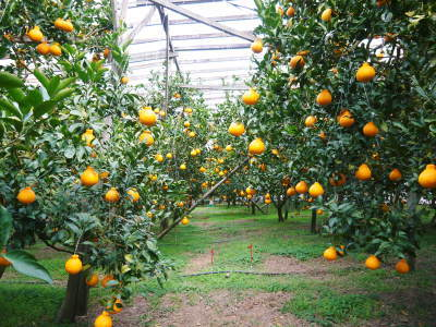 デコポン(肥後ポン) 果実を大きく成長させる匠の水管理と来年のための夏芽の話!後編_a0254656_17140839.jpg