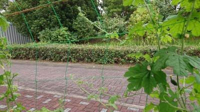緑のカーテン(ゴーヤ)栽培実験R2.9.2_d0338682_11090346.jpg