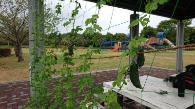 緑のカーテン(ゴーヤ)栽培実験R2.9.2_d0338682_11205733.jpg