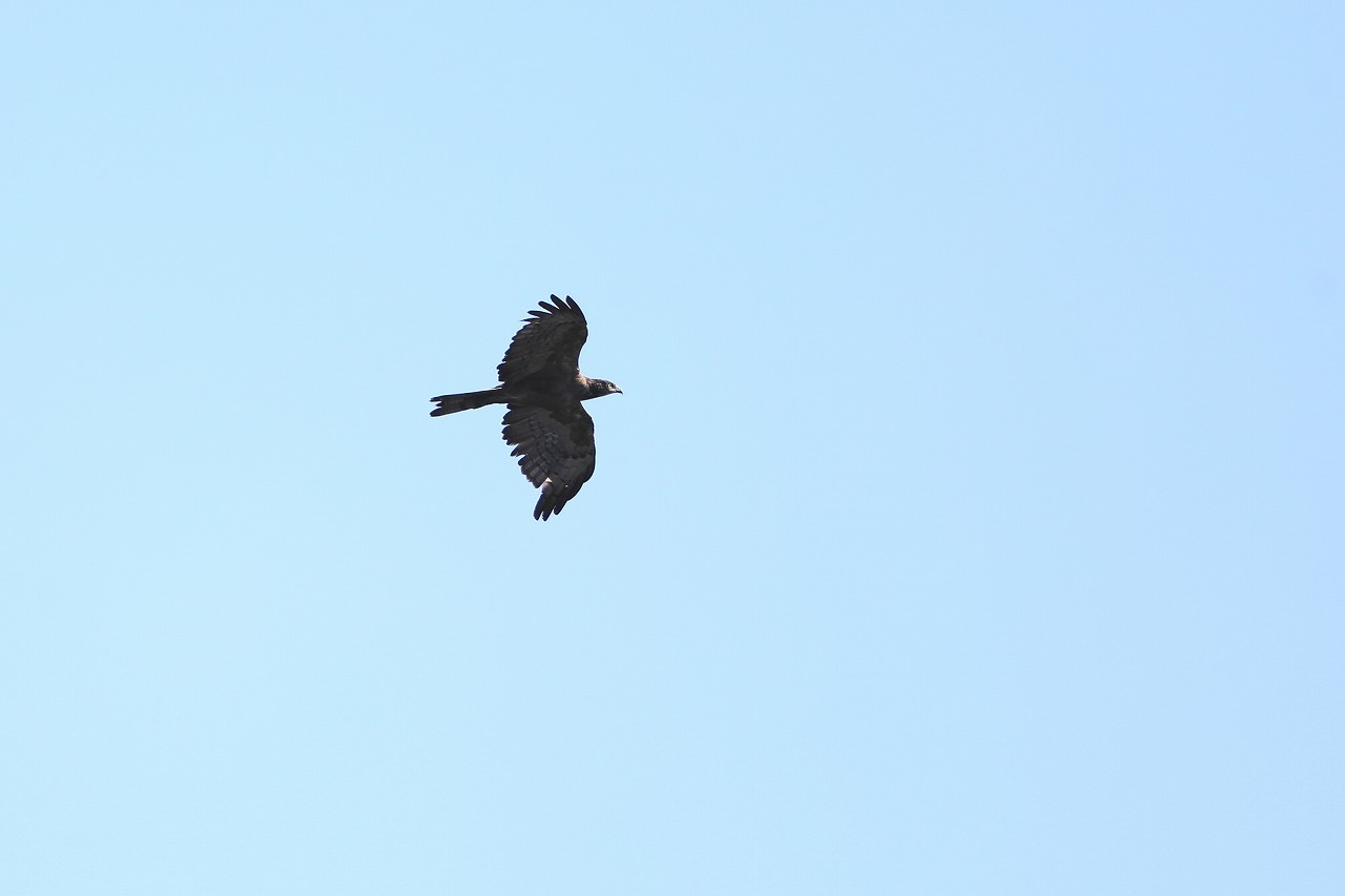 鷹の渡り_f0296999_17081295.jpg