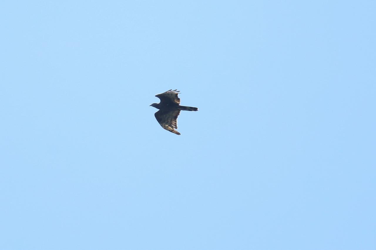 鷹の渡り_f0296999_17083195.jpg
