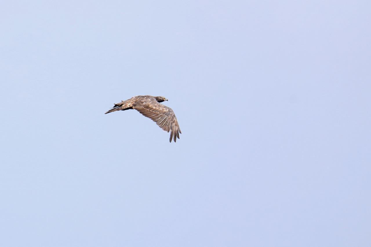 鷹の渡り_f0296999_17084204.jpg
