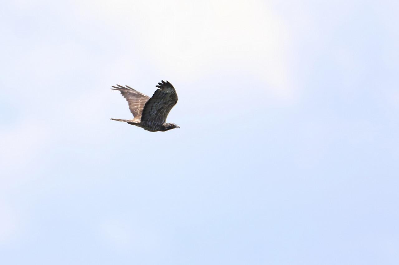 鷹の渡り_f0296999_17085381.jpg