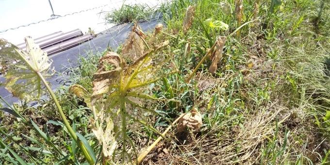 無肥料栽培  失敗?!_a0279022_15374674.jpg