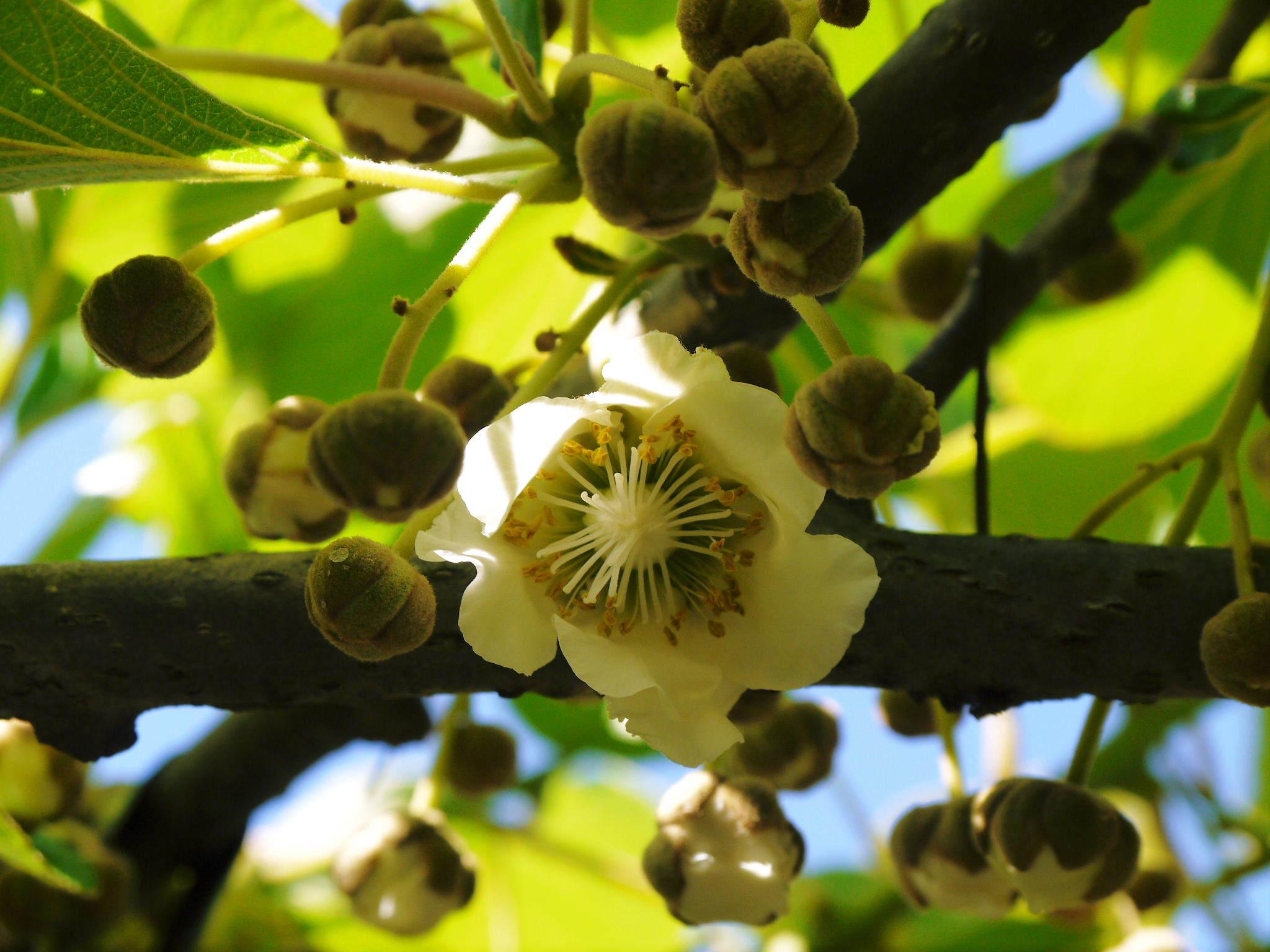 水源キウイ 完全無農薬栽培の熊本産キウイフルーツ!11月下旬の収穫に向け順調に(?)成長中!_a0254656_17551310.jpg