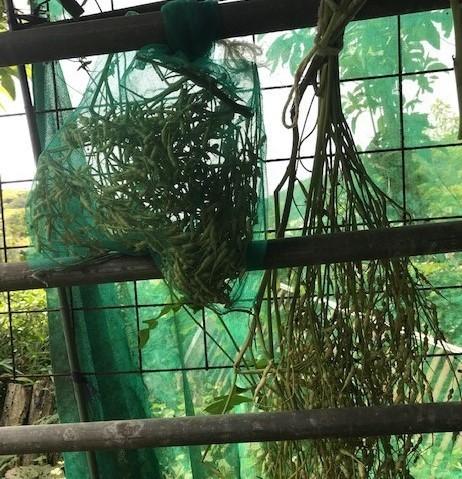 大平農場の兄弟子に鎌倉大根の種提供9・5_c0014967_17222219.jpg