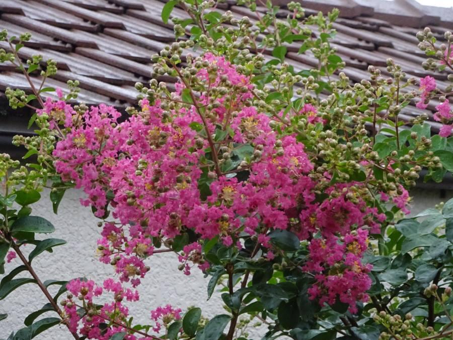 庭の花 夏その10_f0059673_18362624.jpg