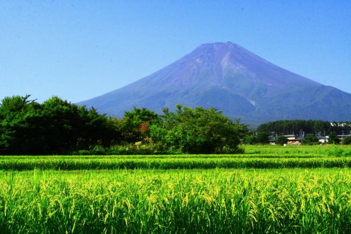 令和2年8月の富士(16) 富士北麓の田園の富士 _e0344396_12212309.jpg