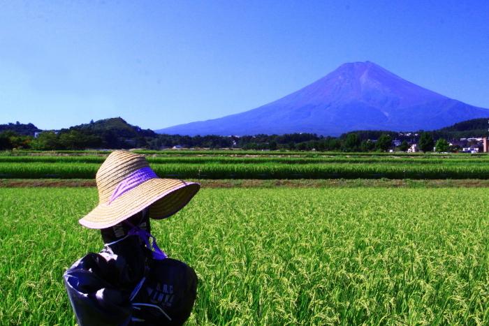 令和2年8月の富士(16) 富士北麓の田園の富士 _e0344396_12212324.jpg