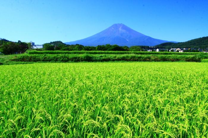 令和2年8月の富士(16) 富士北麓の田園の富士 _e0344396_12212367.jpg
