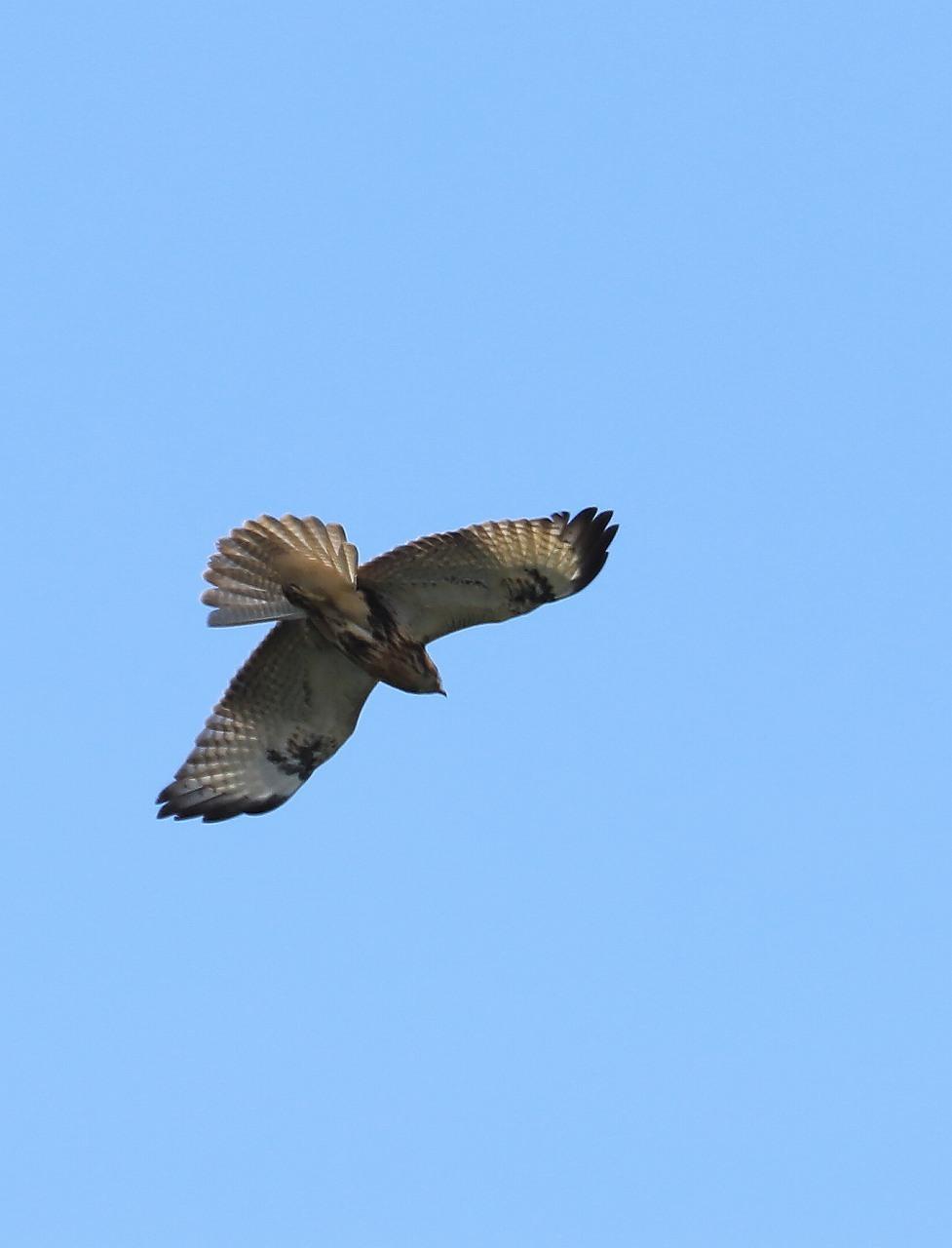 鷹の渡り_f0296999_13294832.jpg