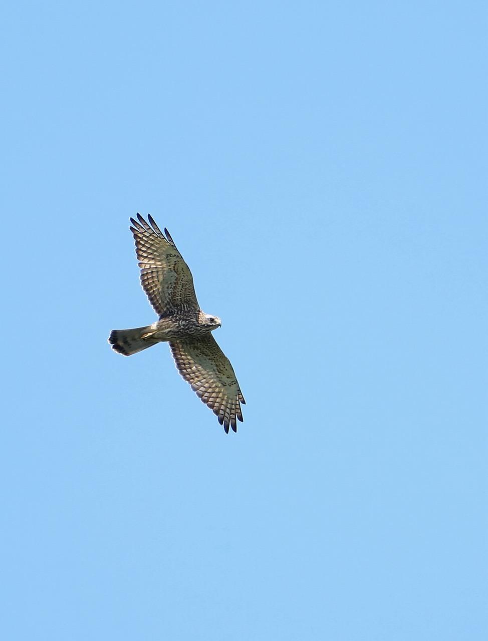 鷹の渡り_f0296999_13295344.jpg