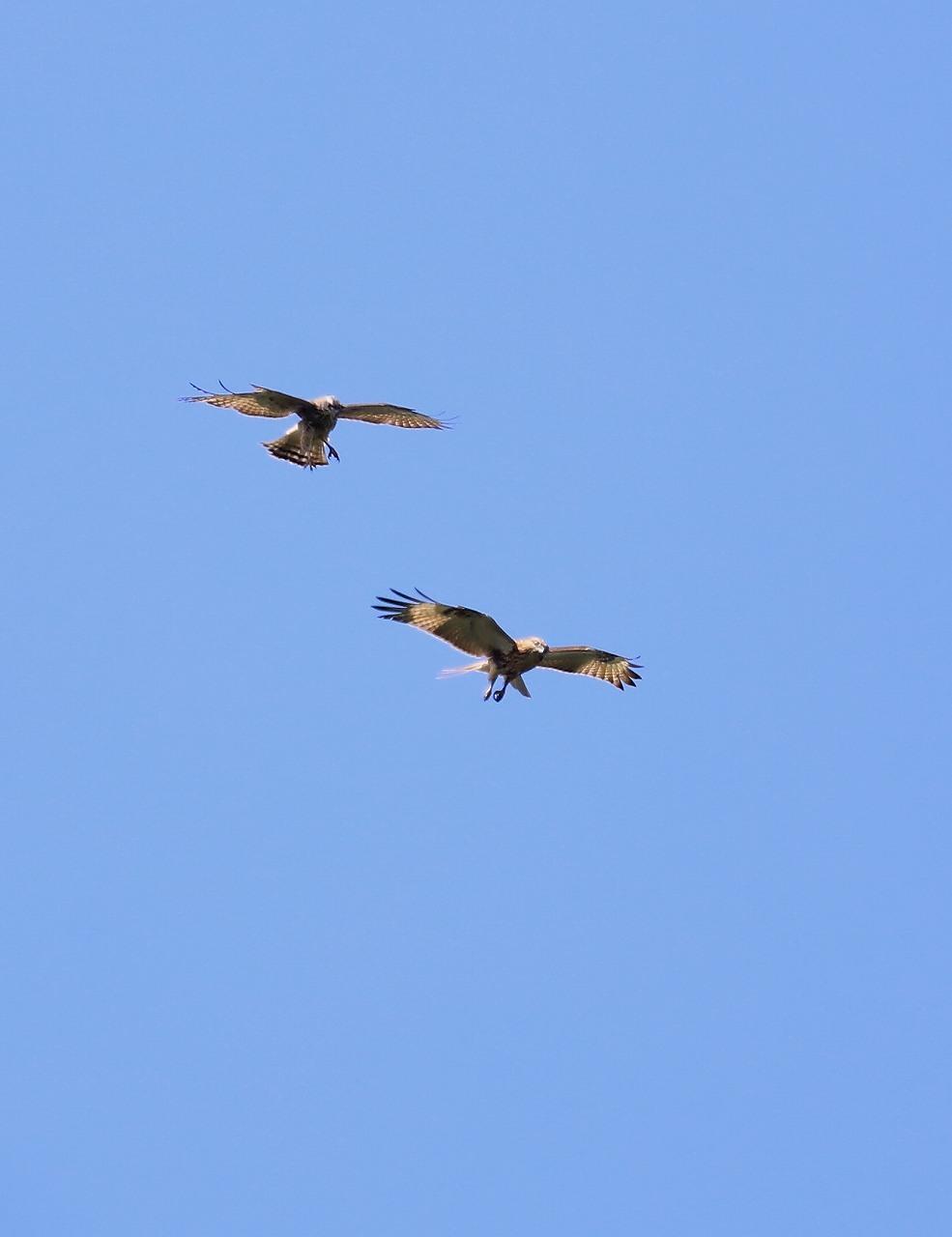 鷹の渡り_f0296999_13300377.jpg