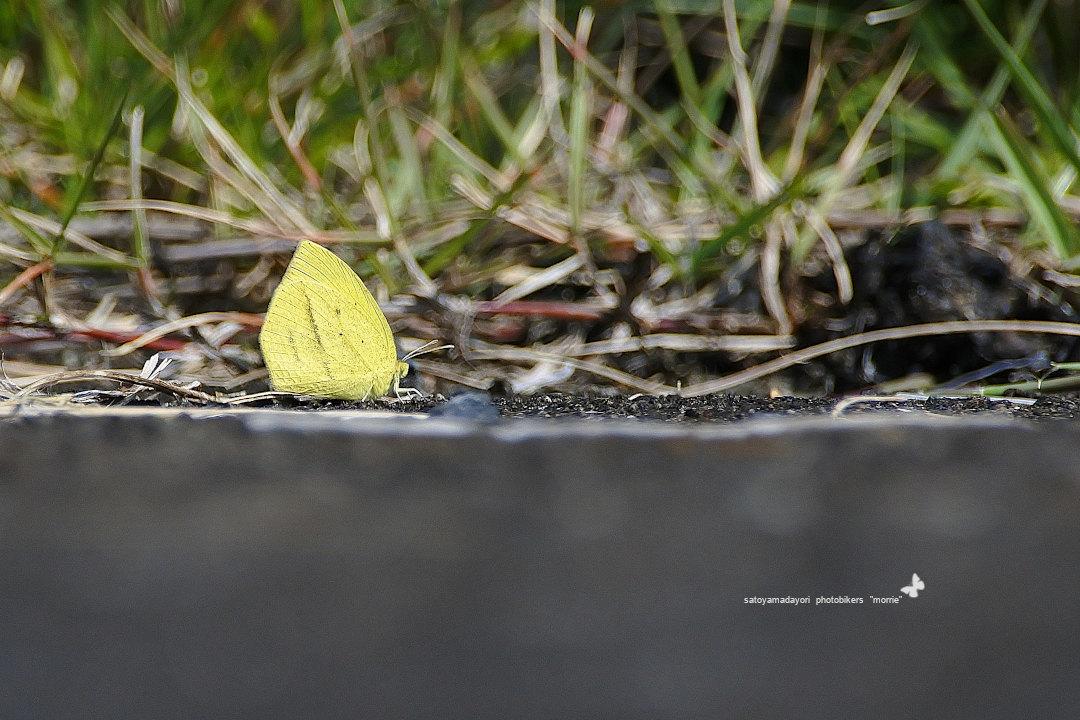 絶滅危惧IB類、幸運の三種一気撮り、ツマグロキチョウ(2020/09/03)②_d0387460_15302376.jpg