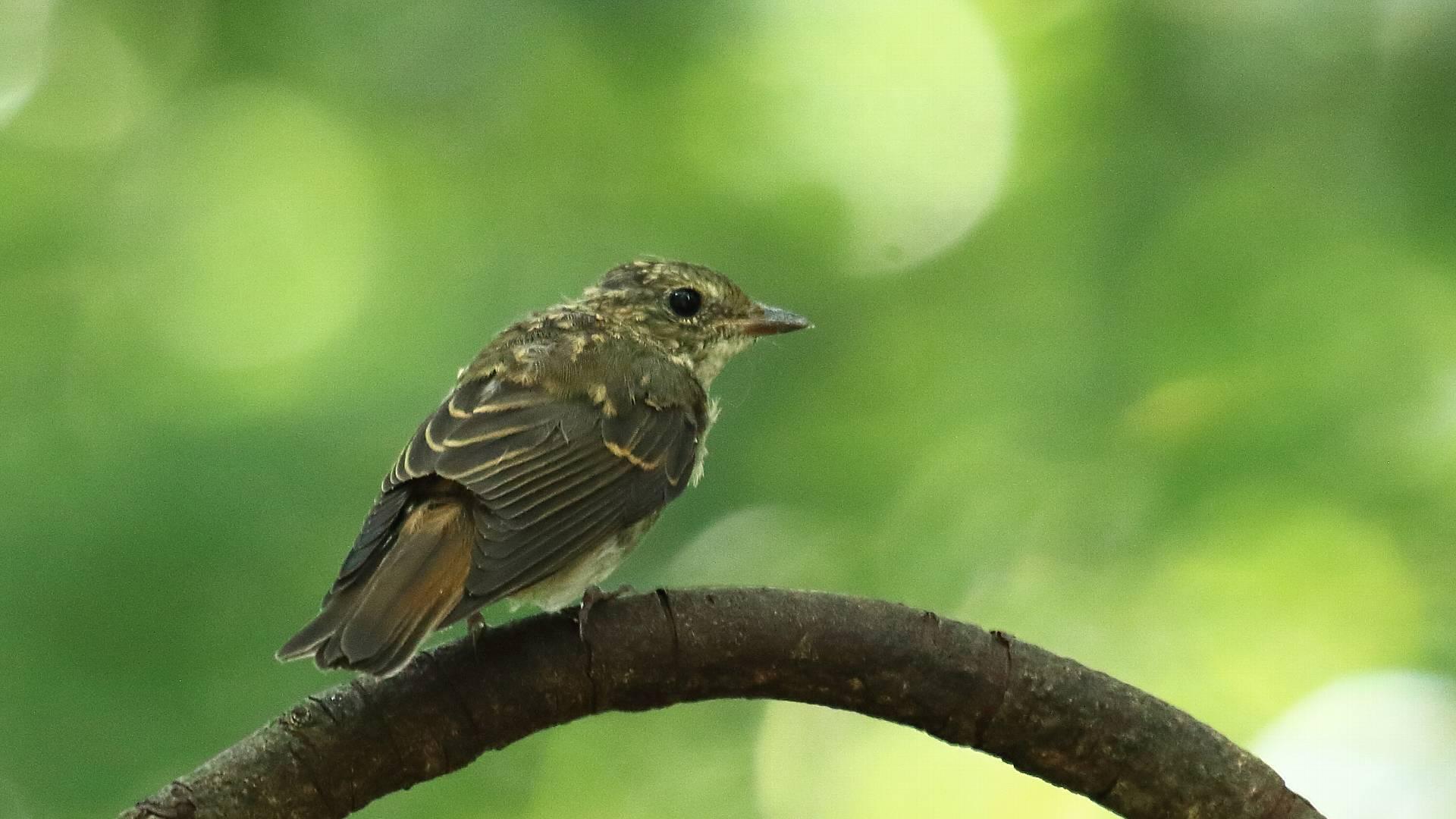 キビタキ幼鳥も姿を見せました_f0105570_20375180.jpg
