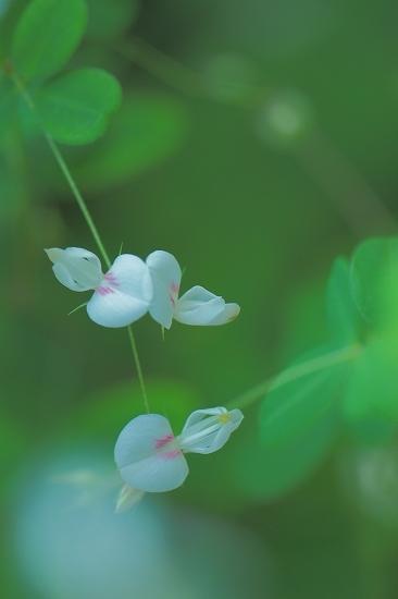 マキエハギ(蒔絵萩)_e0348392_21513658.jpg