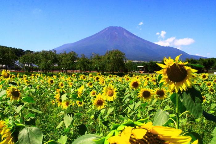 令和2年8月の富士(17) 花の都公園ヒマワリと富士 _e0344396_12092748.jpg
