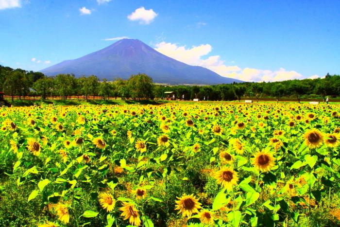 令和2年8月の富士(17) 花の都公園ヒマワリと富士 _e0344396_12092765.jpg