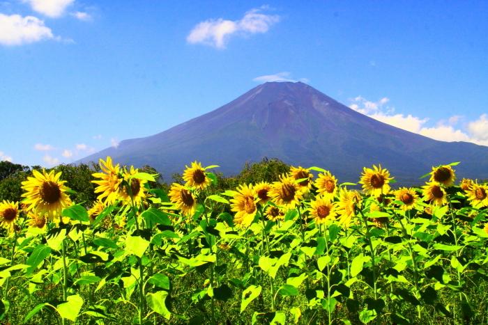 令和2年8月の富士(17) 花の都公園ヒマワリと富士 _e0344396_12092773.jpg