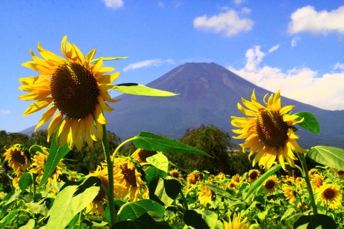 令和2年8月の富士(17) 花の都公園ヒマワリと富士 _e0344396_12092869.jpg
