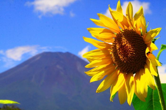 令和2年8月の富士(17) 花の都公園ヒマワリと富士 _e0344396_12092891.jpg